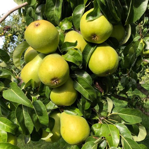 Beautiful Anjou Pears on tree