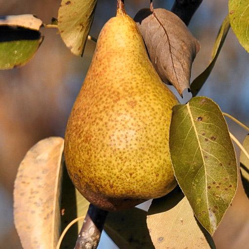 Bosc-Pear
