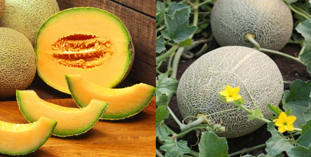 Cantaloupe-on-the-vine