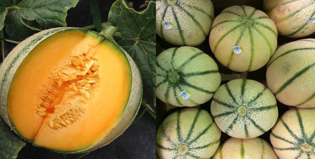 Cherantai Melons On The Vine And Sliced