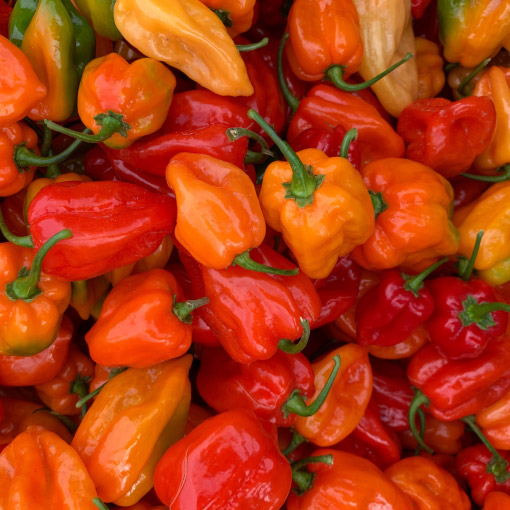 Habanero_Pepper
