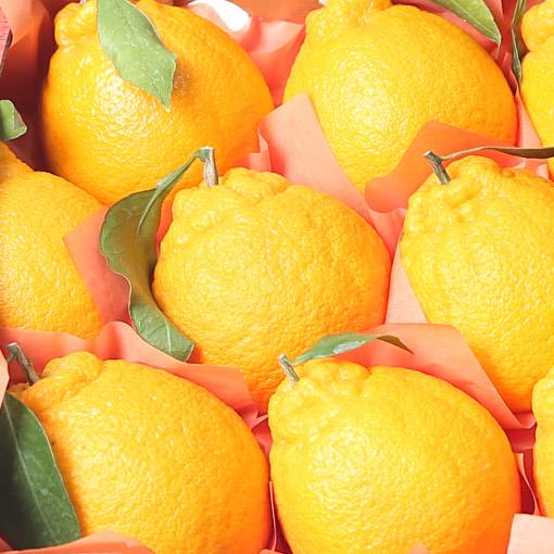 Hallabong-Mandarins