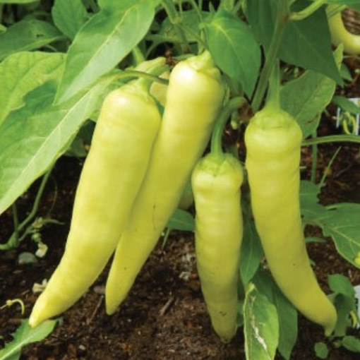 Sweet-Banana-Peppers-On-Vine